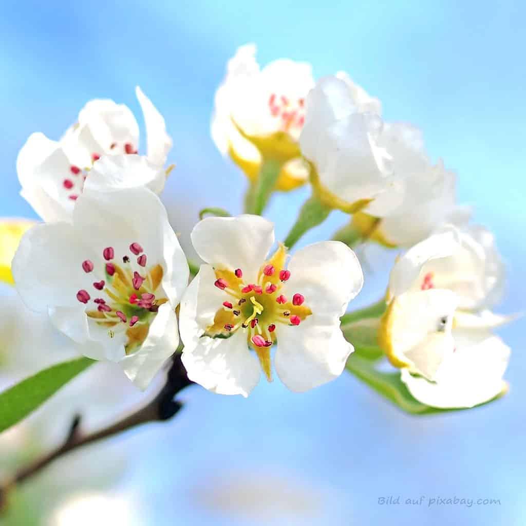 Blütenbild Apfelbaum Baumessenz TalaNia