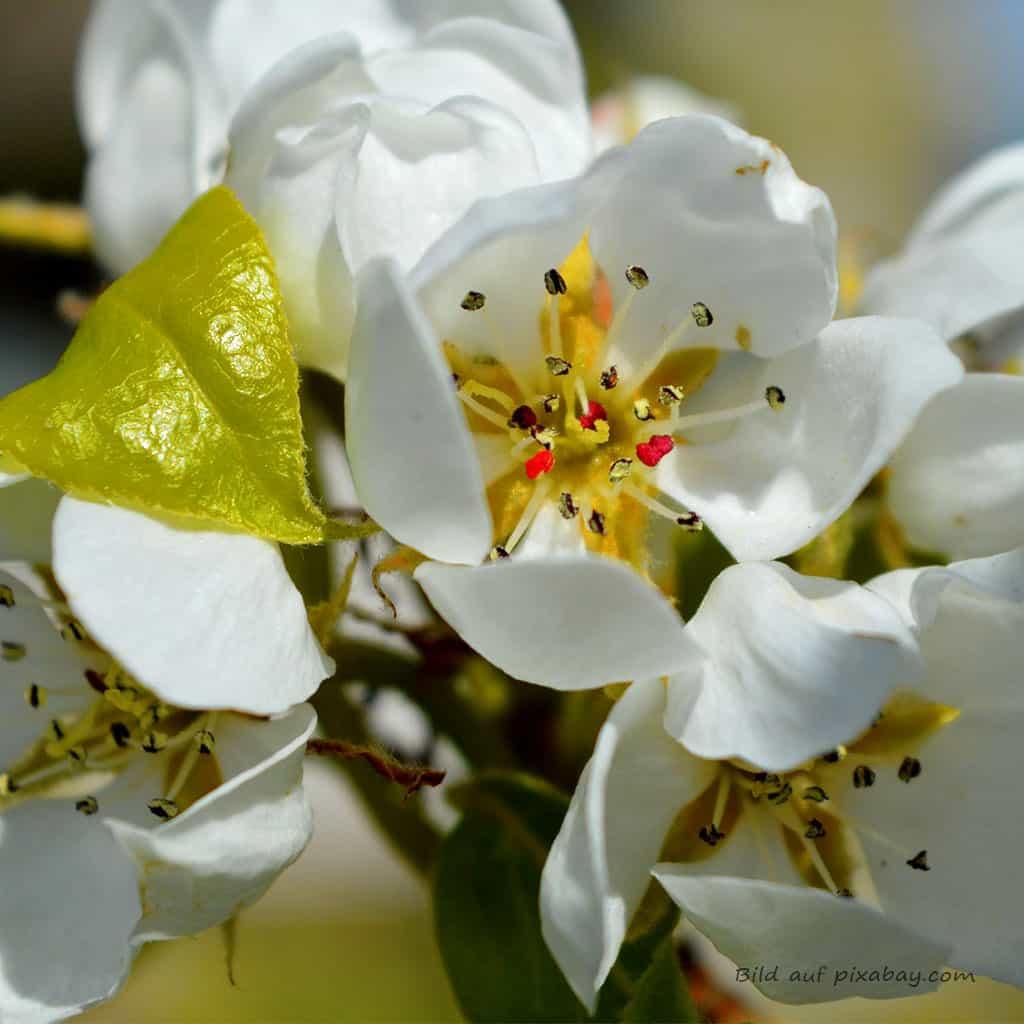 Blütenbild Birnenbaum Baumessenz TalaNia