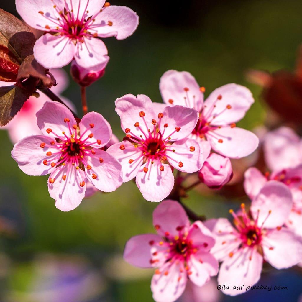 Blütenbild Blutpflaume Baumessenz TalaNia