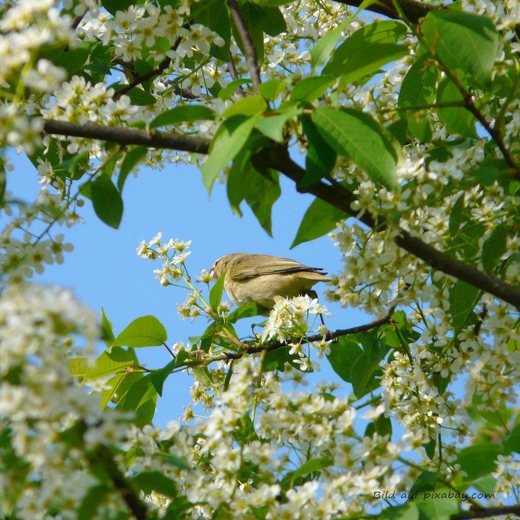 Baumbild Baumessenz Traubenkirsche TalaNia